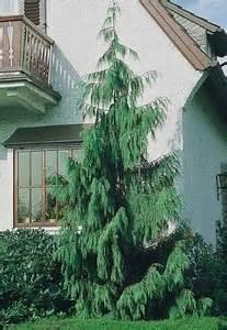 Alaskan weeping cedar
